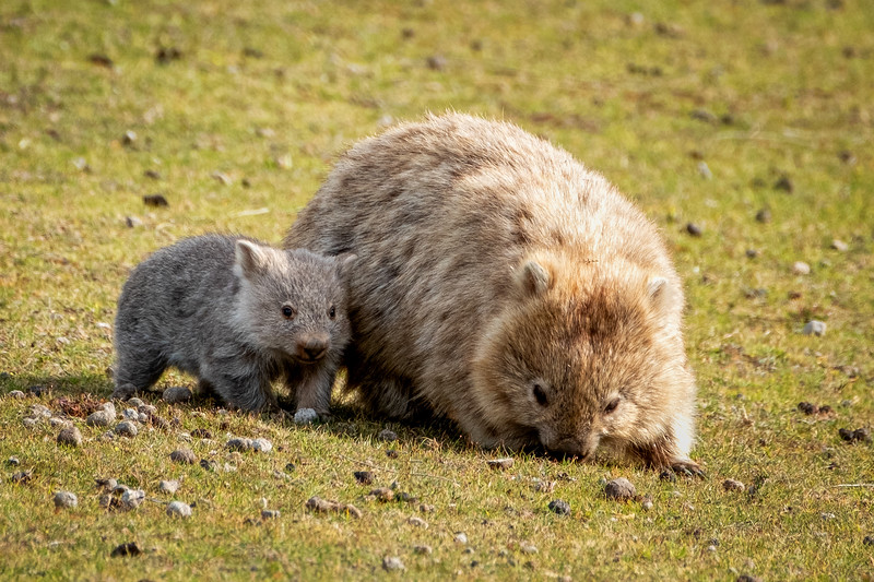 Young Wombat and Mother, Maria Island, Tasmania