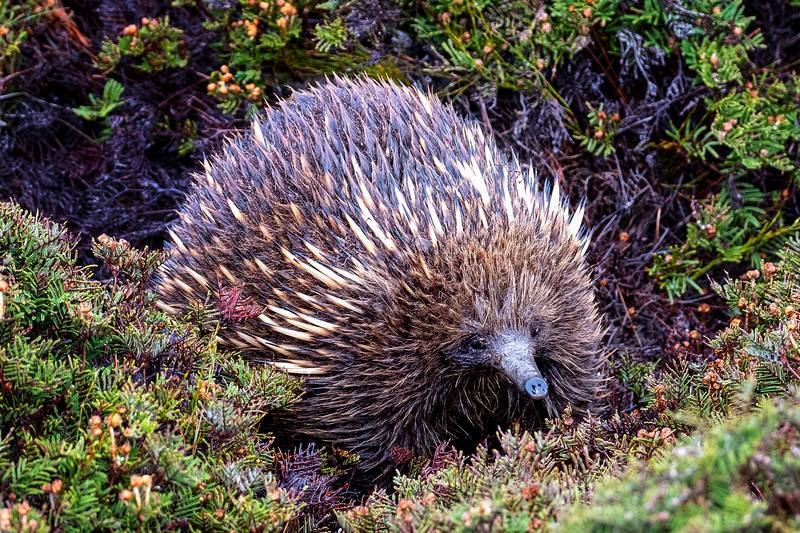 Echidna, Cradle Mountain National Park, Tasmania