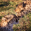 Cheetah Nuzzle, Botswana