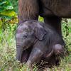 Baby Elephant, Sri Lanka