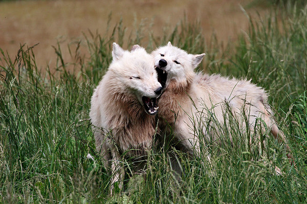 Two wolves playing in high grasses, Sainte-Croix park, Lorraine, France.