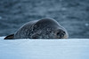 Weddell Seal, Mikkelson Harbor, Trinity Island, Antartica