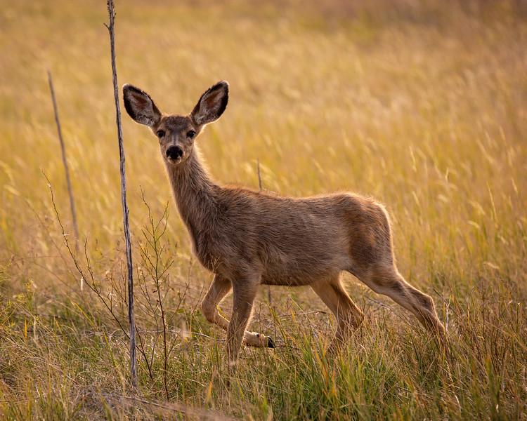 Young Mule Deer, Badlands, South Dakota