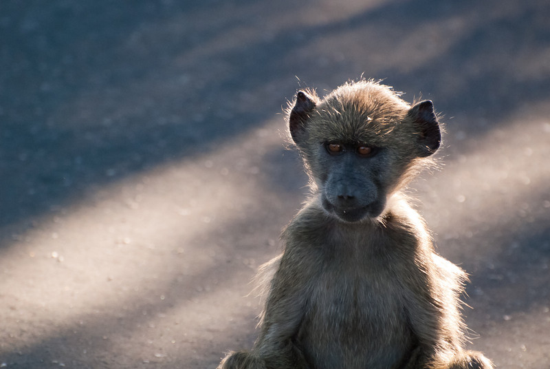 "<span id=""title"">Baby Baboon</span> <em>Kruger National Park</em> This young baboon was content to just sit in the middle of the road. This one still has some cute left in him, but you can see the ugly starting to come through."