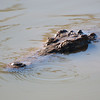 "<span id=""title"">Lying in Wait</span> <em>Balule Game Reserve</em> After we basically chased the croc into the water, it stayed just offshore, watching us in typical crocodile fashion. A couple times it silently disappeared below the water and our guide showed us that you can still tell where it is by the sediment it stirred up, even though the surface of the water stayed perfectly flat. He had us stand behind him while we watched this."