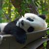 Baby Panda - San Diego Zoo