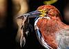 Tiger Heron's Breakfast, Pantanal, Brazil