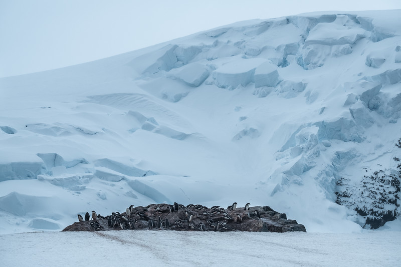 Gentoo Penguin Colony, Mikkelsen Harbor, Trinity Island, Antartica