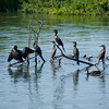 Seven cormorants soaking in the summer sun.