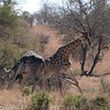 "<span id=""title"">Giraffe Fight 4</span> <em>Kruger National Park</em> This is a pretty good whack right here. I'd imagine their back hips are pretty sore at this point. I wish we could have figured out what they were fighting about. If it was females, they were nowhere in sight."
