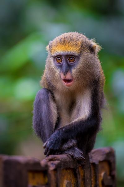 Astonished Mona Monkey, Ghana