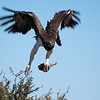 "<span id=""title"">Martial Eagle Takeoff w/Food</span> <em>Kruger National Park</em> Take off! With a lovely half-eaten bird in it's talons..."