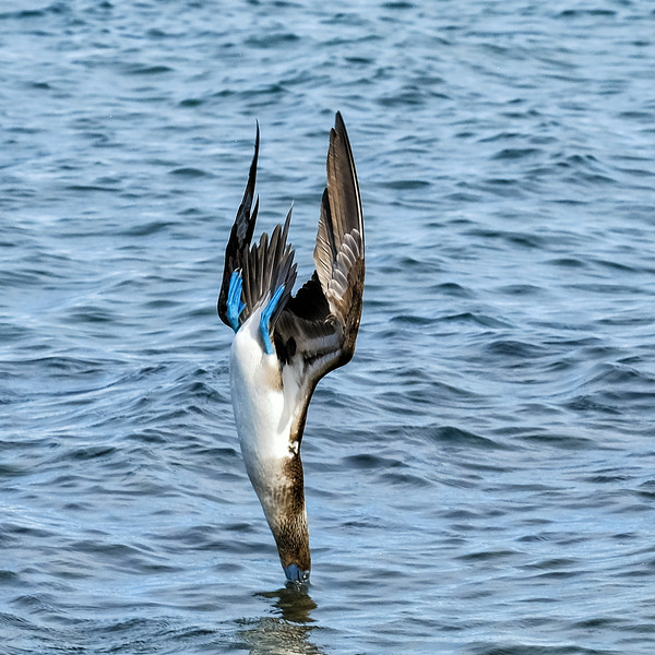 Diving Blue Footed Booby, Galapagos