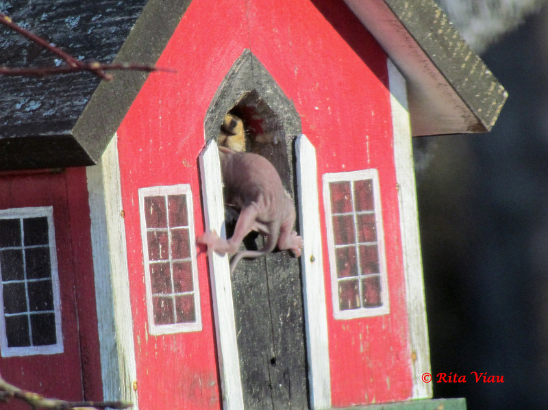 Squirrel with baby-April 9th pic by Rita Viau, Lower Sackville