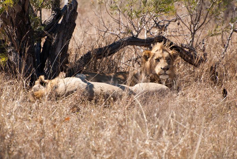 "<span id=""title"">Groggy</span> <em>Kruger National Park</em> Another shot of the sleepy lions."