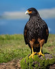 Striated Caracara, West Point Island, Falklands
