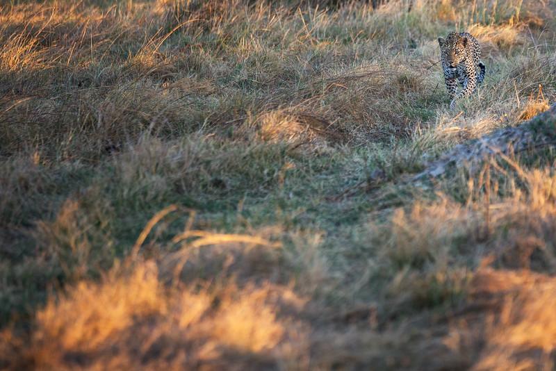 Leopard Stalking, Botswana