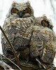 Baby Great Horned Owls, Minnesota