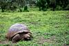 Giant Tortoise Feeding, Galapagos