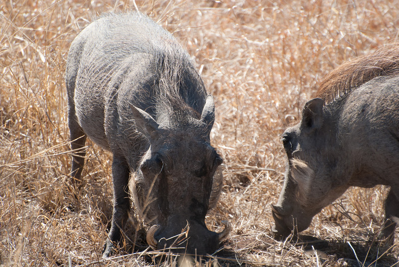 """<span id=""""title"""">Warthog</span> <em>Kruger National Park</em> I wasn't sure how often we'd see warthogs, but we saw them at least 4 times. This group was closest to the road."""