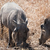 "<span id=""title"">Warthog</span> <em>Kruger National Park</em> I wasn't sure how often we'd see warthogs, but we saw them at least 4 times. This group was closest to the road."