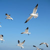 Laughing gulls on Christmas Day.