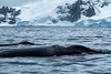 Humpbacks Surfacing, Cierva Cove, Antartica