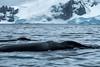 Humpbacks Surfacing, Cierva Cove, Antartica