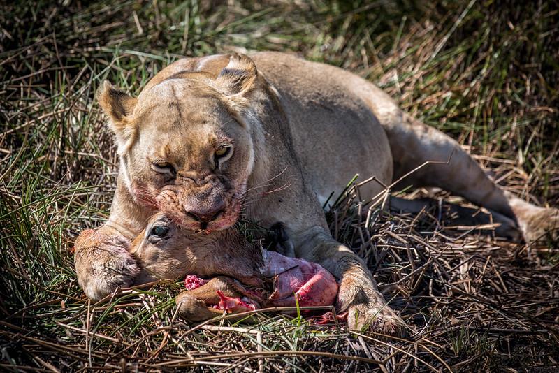Lioness Dining on Impala Head, Botswana