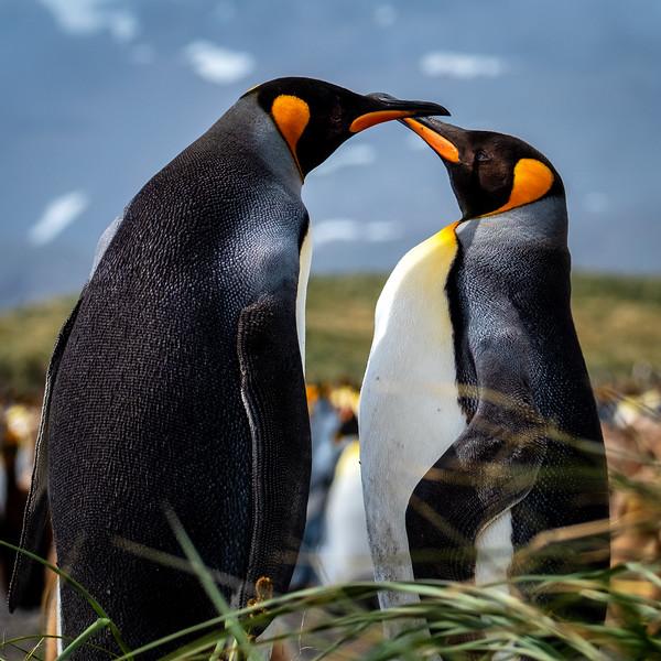 King Penguin Pair, Salisbury Plain, South Georgia