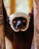 Coquerel's Sifaka Lemur, Madigascar