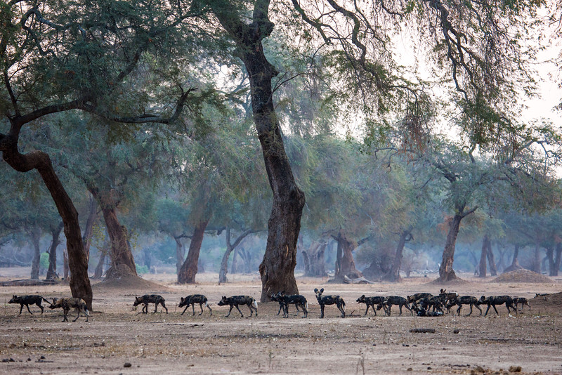 Wild Dog Pack on the Hunt, Zimbabwe
