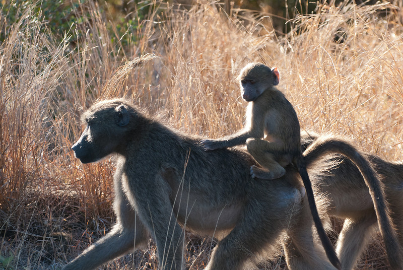 "<span id=""title"">Only Missing a Saddle</span> <em>Kruger National Park</em> I wonder if older baboons think back about the good old days when they got rides from their moms."