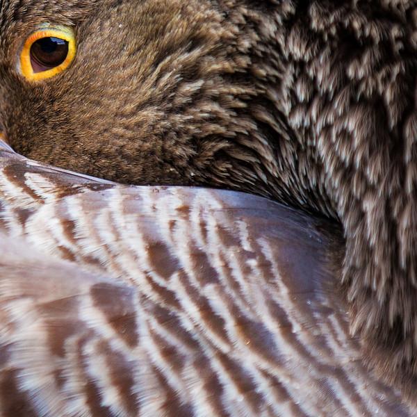 Goose Hiding, Amboise, France