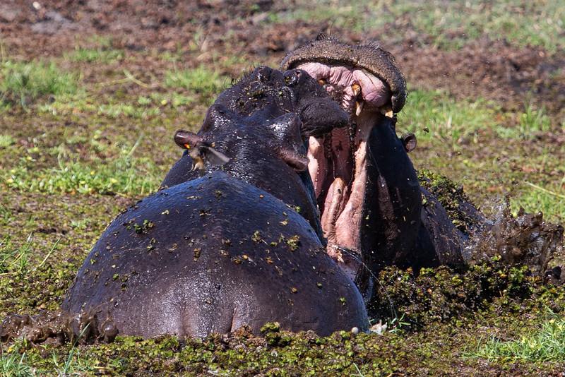 Hippos Fighting, Botswana