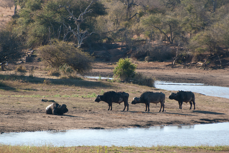 """<span id=""""title"""">Four Buffalo</span> <em>Kruger National Park</em> This is the best shot I got of the cape buffalo. I'm not sure how I feel about this animal. They're absolutely massive, apparently short-tempered and they look kind of weird, but very intimidating with those horns. I'm not sure, there's just some sort of quality about them that I can't put my finger on..."""