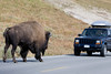 Face Off, Yellowstone National Park