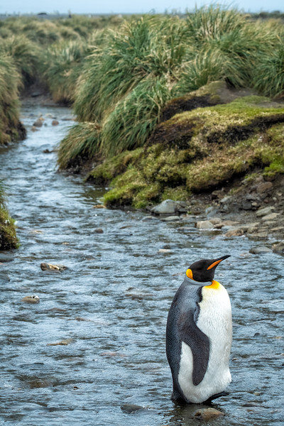 King Penguin in Stream, Salisbury Plain, South Georgia