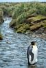 King Penguin in Stream, Salisbury Plain, South Georgia