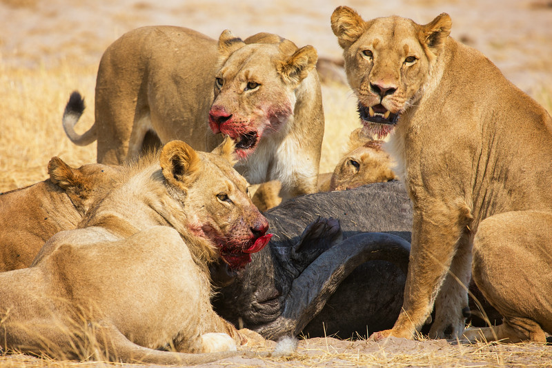 Lions at a Kill, Zimbabwe