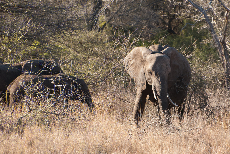 "<span id=""title"">Elephant</span> <em>Kruger National Park</em> Elephant with a few more elephants nearby. Some people call that a herd. Those people are correct."