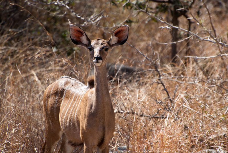 """<span id=""""title"""">Nyala Ears</span> <em>Kruger National Park</em> This is the only nyala we saw outside of Marc's Treehouse Lodge. I can't believe the ears... they're ridiculous."""