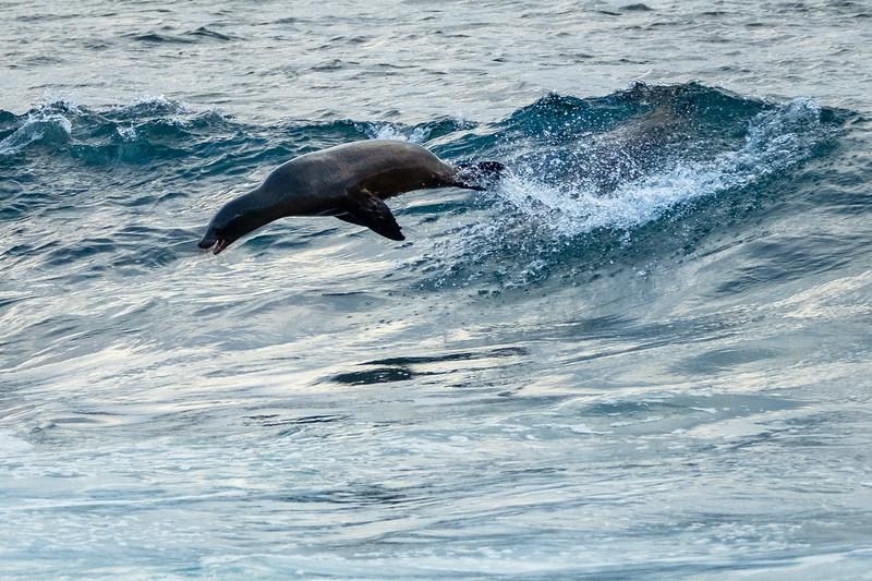 Surfing Sea Lion, Galapagos