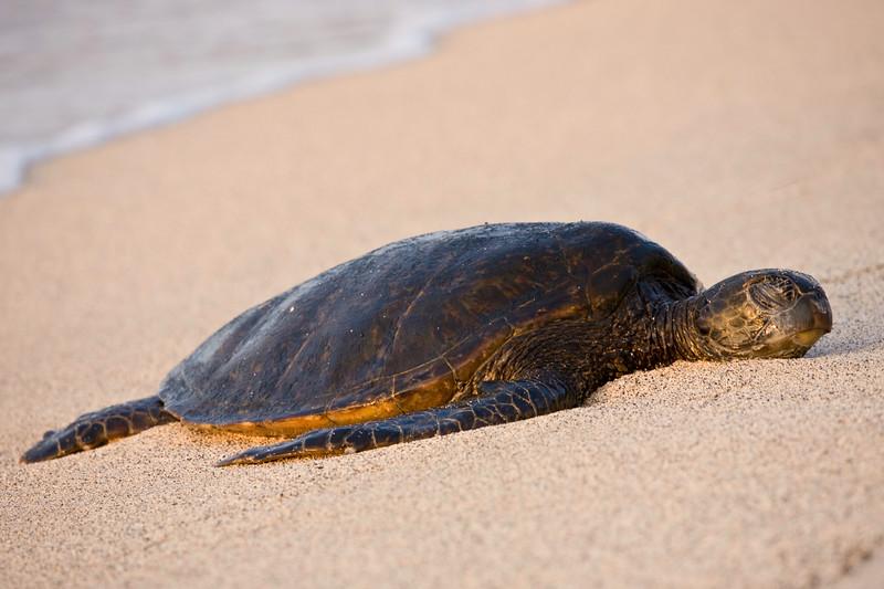 Sea Turtle Sleeping, The Big Island, Hawaii