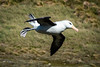 Black Browed Albatross Landing, West Point Island, Falklands