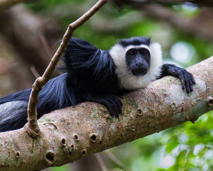 Colobus Monkey, Ghana
