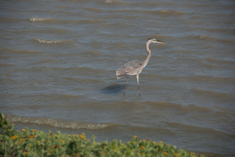 Great Blue Heron is hungry.