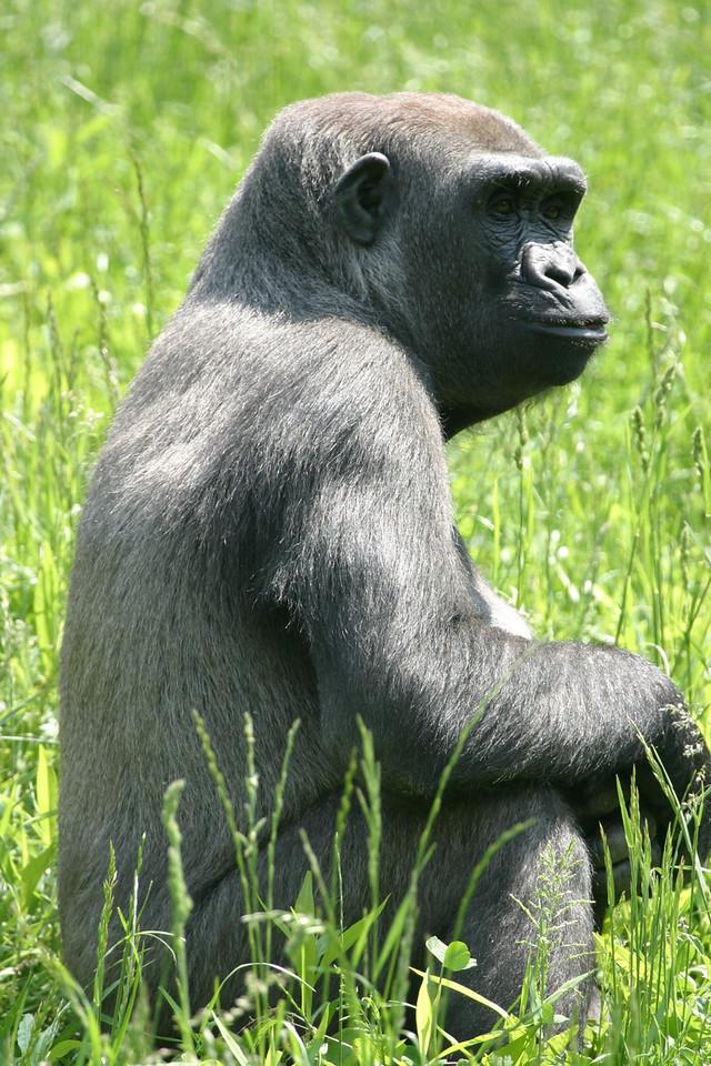 Gorilla (captive) Pittsburgh Zoo Pennsylvania, USA