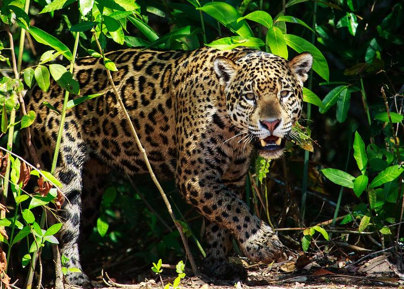 Jaguar Emerging, Pantanal, Brazil