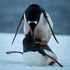 Gentoo Penguins Mating, Mikkelsen Harbor, Trinity Island, Antartica
